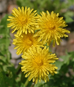 Dandelion flowers are bright and cheery even if they are a bothersome weed.