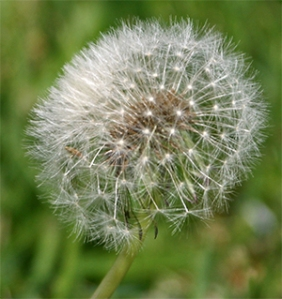 Dandelion seed heads are filled with seeds ready to float away on a gentle breeze.