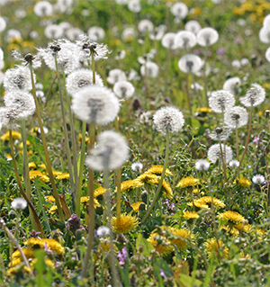 Dandelions can be tough to control in the lawn.