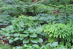 Ferns and hosta in a woodland garden
