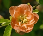 Double blooming quince