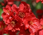 A double rose colored quince