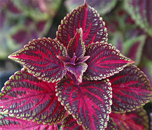 Coleus with red, burgundy, and green foliage