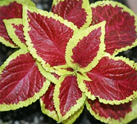 Coleus Red with Yellow Edge