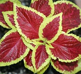 Coleus Red with Yellow Edge