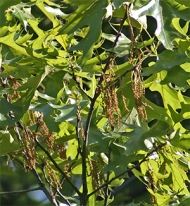 Oak catkins are the male flowers that produce the pollen.