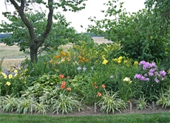Daylily berm in July