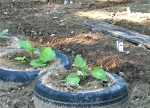 Eggplant is planted in the tires.
