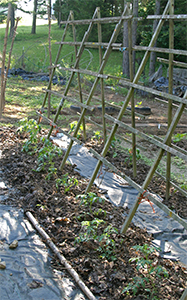 Mulched tomatoes grown on trellises