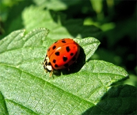Ladybugs are wonderful natural predators that feed on aphids, mealybugs, and other garden pests.