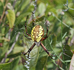 A garden spider patiently awaits its prey.