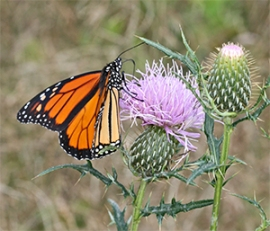 Beautiful Monarch sipping from a thistle flower.