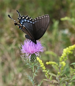Black Swallowtails love the thistle flowers.