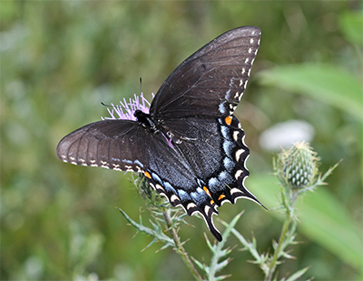 A Black Swallowtail moves from flower to flower. The thistles were covered with many different kinds of butterflies and bees!