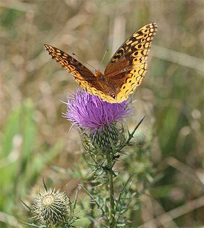 Smaller fritillary butterflies also enjoy thistle nectar.