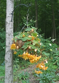 Baskets of beautiful tuberous begonias hang from trees in many of her gardens!