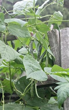 Rattlesnake beans will grow up the corn stalks.