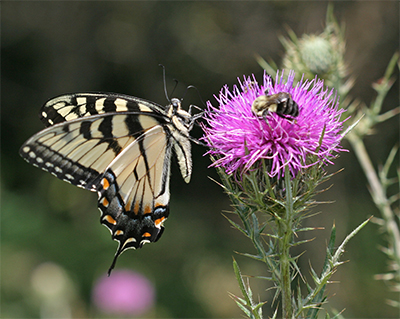 A beautiful Tiger Swallowtail shares the flower with a bumblebee!