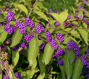 Callicarpa berries in September