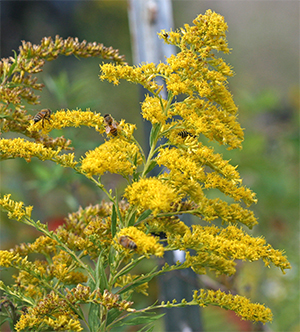 Honey bees love goldenrod and the flowers will often be covered with these busy pollinators.