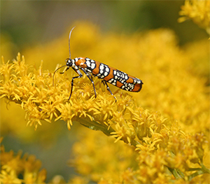 A colorful moth pollinates goldenrod flowers.
