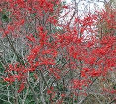 Ilex verticillata berries