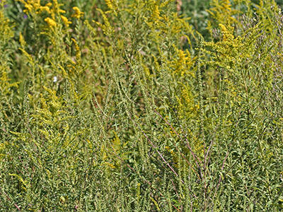 Ragweed blooms amongst the goldenrod.