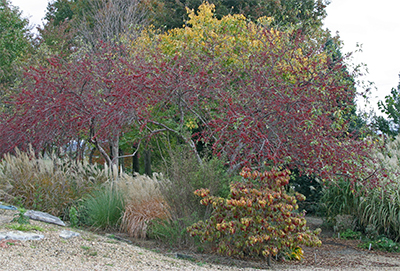 Malus 'Naragansett' is as colorful in the fall as it is in the spring!