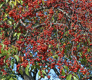 The crabapple trees are loaded with fruit this fall!