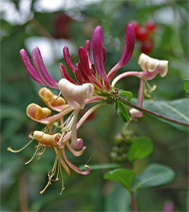 The beautiful honeysuckle flowers bring hummingbirds and butterflies to the garden.