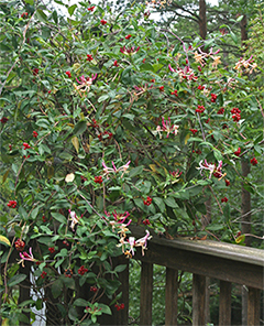 My colorful Serotina honeysuckle grows over a post at the corner of my deck. Flowers, buds, and berries decorate the vine from June to frost.