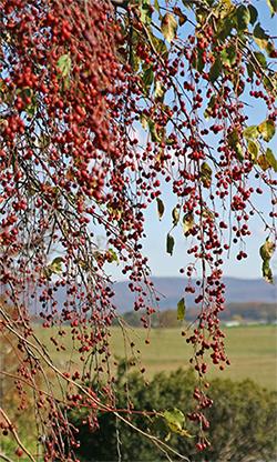 Malus 'Red Jade' is a wonderful weeping crabapple. It is gorgeous in all seasons!