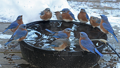 A flock of bluebirds enjoys a drink at the water trough!