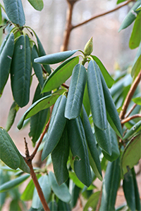 When the temperature drops down close to freezing the rhododendron leaves begin to curl.