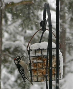 A Downy Woodpecker visits one of the suet feeders.