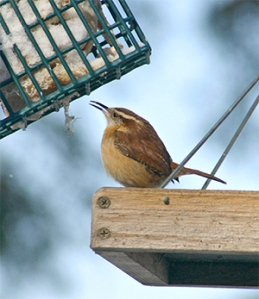 A little wren enjoys the suet.