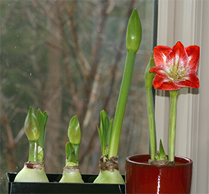My amaryllis bulbs seem to be growing well.
