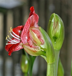 At least four flowers will open on this one flower stem.