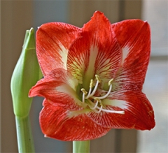 The beautiful Amaryllis 'Minerva' flower is just beginning to  open.