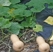 We'll probably grow butternut squash or acorn squash between our corn/bean mounds.