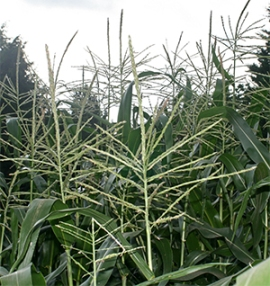 "Corn, one of the ""Three Sisters"", creates a natural support for the beans."