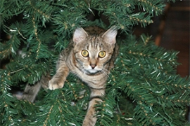 Skitz has made herself comfortable in the Christmas tree.