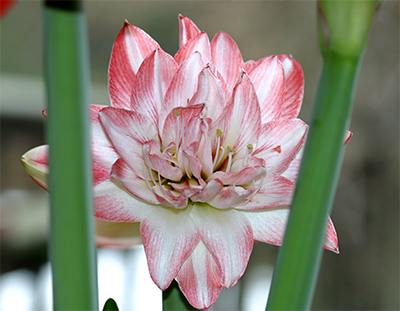 Amaryllis 'Blossom Bingo' looks like a beautiful water lily!