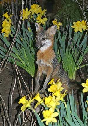 A beautiful gray fox was nestled amongst the daffodils.