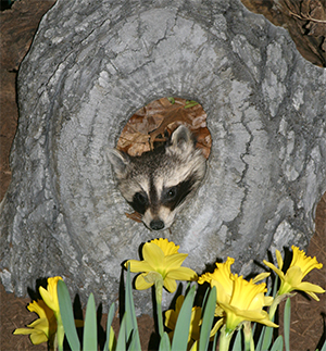 This inquisitive racoon peeked out of his cozy home to sniff the daffodils!