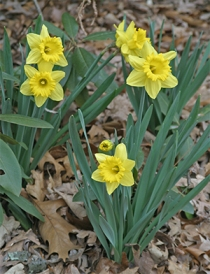 Early spring daffodils blooming in my garden.