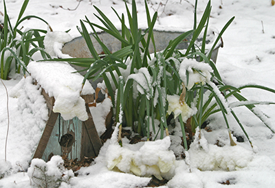 The snow was beautiful but my daffodils were bent over from the weight.
