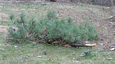 Pine branches litter my yard.