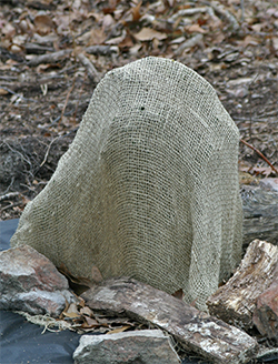 Eric fashioned a burlap cover over this little holly to protect it from winter wind.