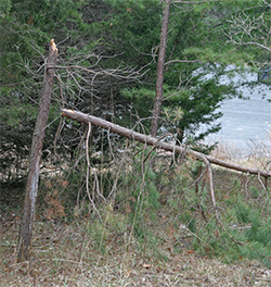 A small pine is snapped in two.